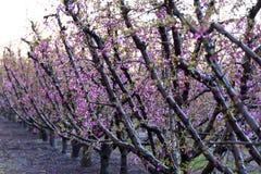 Fält av persikaträdet, i blom, med spridare på soluppgång royaltyfri bild