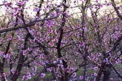Fält av persikaträdet, i blom, med spridare på soluppgång fotografering för bildbyråer