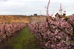Fält av persikaträdet, i blom, med spridare på soluppgång arkivfoton