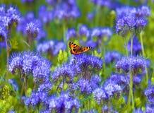 Fält av Phacelia Royaltyfria Bilder