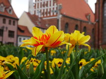 Fält av pingstliljablommor och den gamla staden bakom Royaltyfria Bilder
