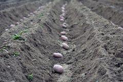 Fält av potatisar i diken royaltyfria foton