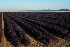 Fält av purpurfärgad basilika i solsken royaltyfri foto