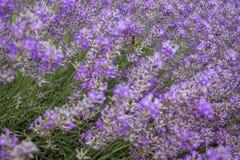 Fält av purpurfärgad lavendel fotografering för bildbyråer