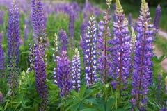 Fält av purpurfärgad lupine Royaltyfri Bild
