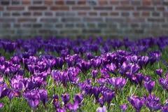 Fält av purpurfärgade krokusblommor i vår fotografering för bildbyråer