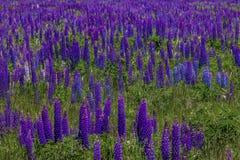 Fält av purpurfärgade lupin Arkivfoto
