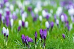 Fält av purpurfärgade och vita krokusblommor Arkivfoto