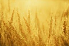 Fält av råg, jordbruks- ecobakgrund Arkivbild