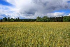 Fält av råg och den soliga dagen Arkivfoto