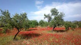 Fält av röda daisys i Ibiza i vinter Arkivfoton