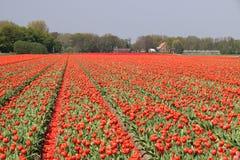 Fält av röda tulpan Royaltyfri Fotografi