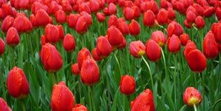 Fält av röda tulpan i morgondagg Arkivfoto