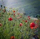Fält av röda vallmo Royaltyfri Fotografi
