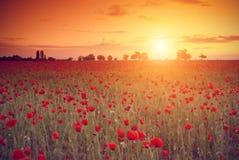 Fält av röda vallmo i solnedgången Arkivbilder