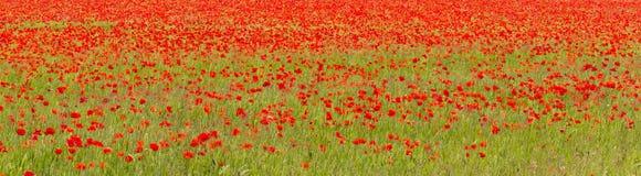 Fält av röda vallmo (Papaverrhoeas) Arkivbild