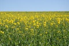 Fält av rapsfröt i blomma i våren arkivbild