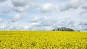 Fält av rapsfröt med det härliga molnet - växt för grön energi Royaltyfria Foton