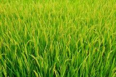 Fält av rices Arkivfoto