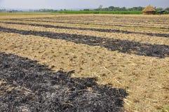 Fält av ris, efter du skördas Royaltyfri Bild