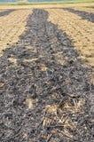 Fält av ris, efter du skördas in Arkivfoton