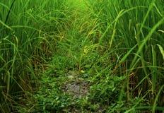 Fält av risväxten Arkivfoton