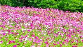 Fält av rosa blommor, HD 1080P Arkivfoto