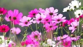 Fält av rosa blommor, HD 1080P Arkivbild