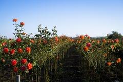 Fält av rosa buskar Royaltyfria Bilder