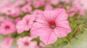 Fält av rosa färger i en blommaträdgård Arkivbilder