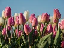 Fält av rosa och vita tulpan i inställningssolen Arkivfoton