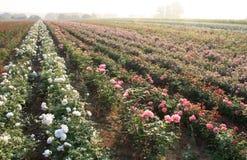 Fält av rosa rosor Royaltyfria Bilder
