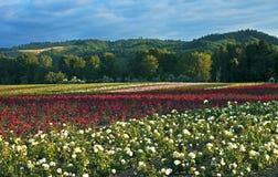 Fält av rosor, Oregon Arkivbild