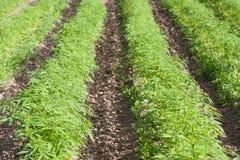 Fält av Sativa hampacannabis Royaltyfria Bilder