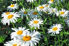 Fält av Shasta Daisys Royaltyfri Bild