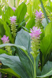 Fält av Siam tulpanblommor som blommar i naturträdgården Royaltyfri Fotografi