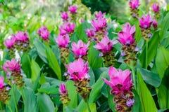 Fält av Siam tulpanblommor som blommar i naturträdgården Royaltyfria Foton