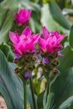 Fält av Siam tulpanblommor som blommar i naturträdgården Arkivfoton