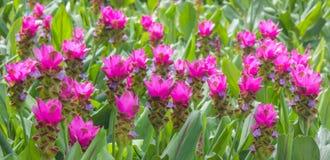 Fält av Siam tulpanblommor som blommar i naturträdgården Royaltyfri Foto