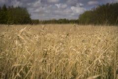 Fält av skördar i sommar Royaltyfria Foton