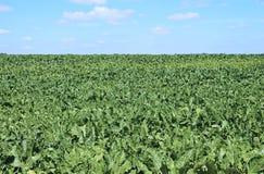 Fält av sockerbetan Arkivbilder
