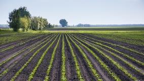 Fält av sockerbetan Royaltyfri Bild