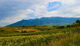 Fält av solblommor, blå himmel och det Rodopi berget Arkivfoto