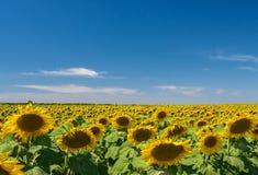 Fält av solrosen Royaltyfri Fotografi