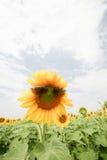 Fält av solrosen i Thailand Royaltyfria Foton