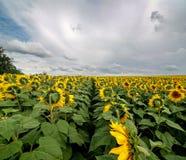 Fält av solroslinjer Arkivfoton