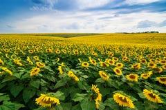 Fält av solroslinjer Arkivbilder