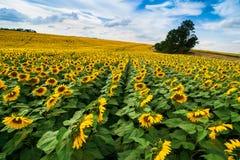 Fält av solroslinjer Royaltyfria Foton