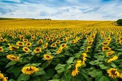 Fält av solroslinjer Fotografering för Bildbyråer