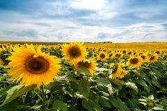 Fält av solroslinjer Royaltyfri Bild